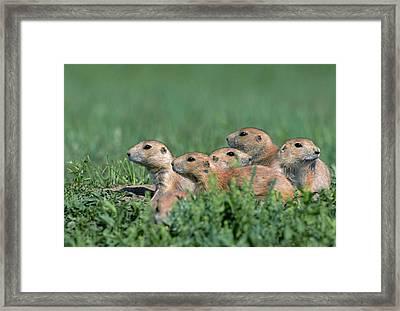 Black-tailed Prairie Dog (cynomys Framed Print