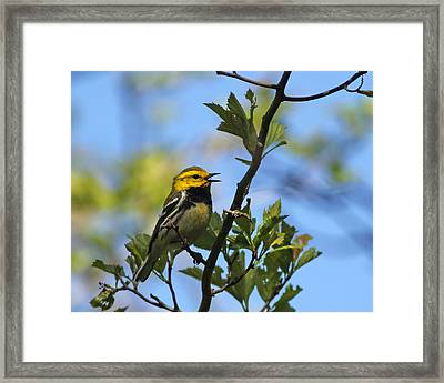 Black-throated Green Warbler Framed Print