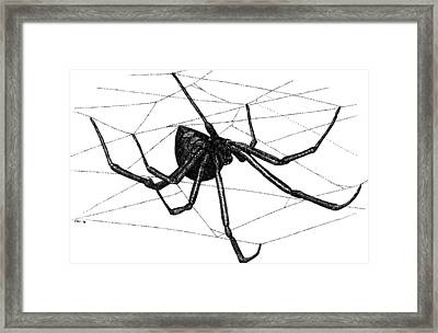 Black Widow Spider Framed Print by Roger Hall