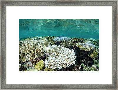 Bleached Coral, Fiji Framed Print by Pete Oxford