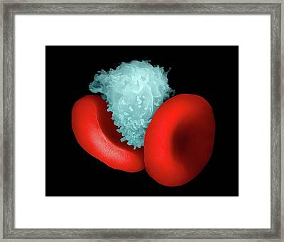Blood Cells Framed Print by Ami Images