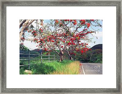 Blooming Flamboyan Trees Along A Country Road Framed Print by George Oze