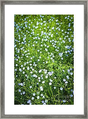 Blooming Flax  Framed Print by Elena Elisseeva
