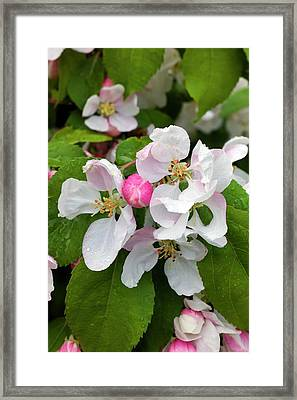 Blossom Of Crab Apple Malus Red Jade Framed Print by Dr Jeremy Burgess