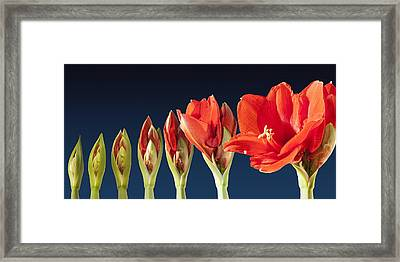 Blossoming Amaryllis Flower Framed Print