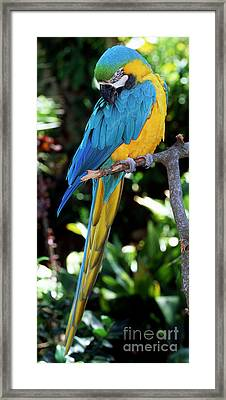 Blue And Yellow Macaw Framed Print by Millard H. Sharp