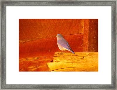 Blue Bird Framed Print by Jeff Swan