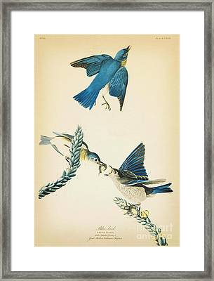 Blue Bird Framed Print by Celestial Images