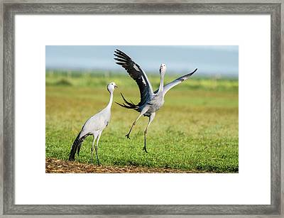 Blue Cranes Framed Print by Peter Chadwick