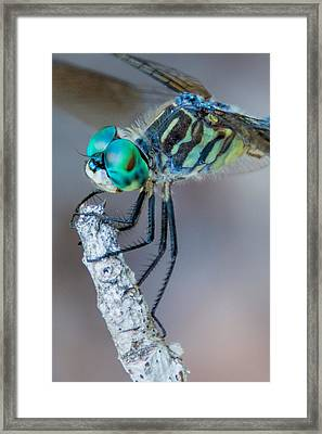 Framed Print featuring the photograph Blue Dasher Dragonfly by Jeanne May