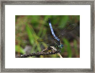 Blue Dasher Framed Print by J Scott Davidson