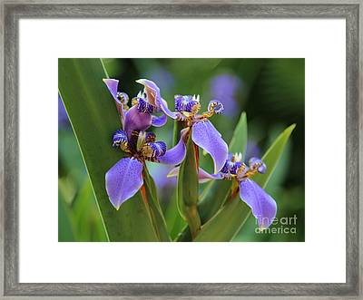 Blue Iris Drama Framed Print by Carol Groenen
