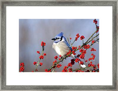 Blue Jay (cyanocitta Cristata Framed Print by Richard and Susan Day