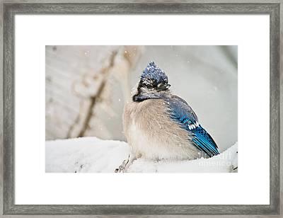 Blue Jay In Winter Framed Print