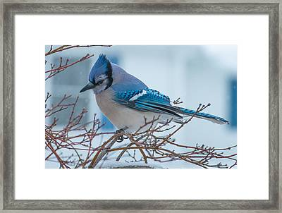 Blue Jay Framed Print by Phil Abrams