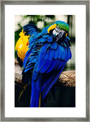 Blue Macaw Framed Print by Pati Photography