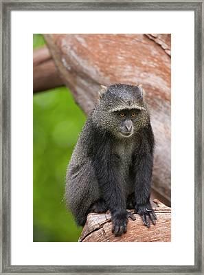 Blue Monkey Cercopithecus Mitis Framed Print