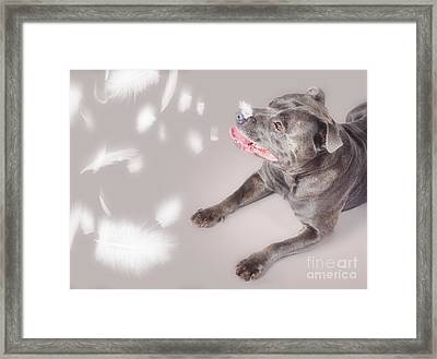 Blue Staffie Dog Watching Floating Feathers Framed Print by Jorgo Photography - Wall Art Gallery
