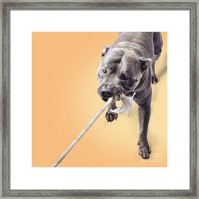 Blue Staffie Having A Tug Of War Framed Print by Jorgo Photography - Wall Art Gallery