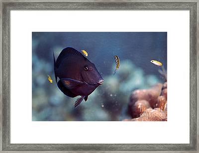 Blue Tang Framed Print by JT Lewis