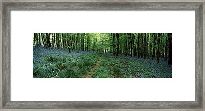 Bluebell Wood Near Beaminster, Dorset Framed Print by Panoramic Images