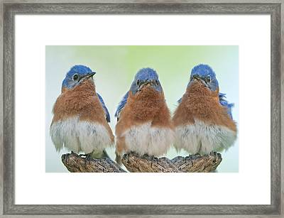 Bluebirds Of Happiness Framed Print by Bonnie Barry