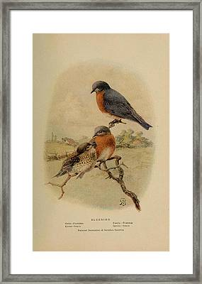 Bluebirds Framed Print by Philip Ralley