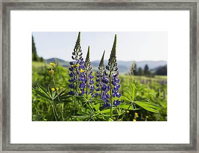 Bluebonnet Lupine _lupinus Framed Print by Carl Bruemmer