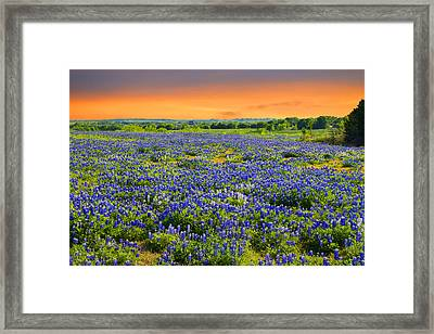 Bluebonnet Sunset  Framed Print