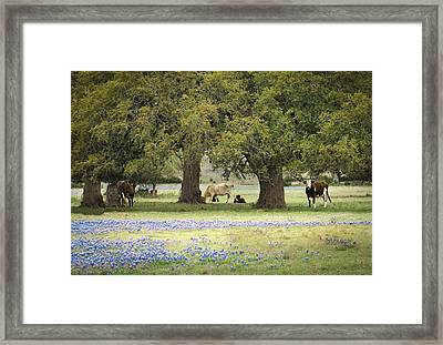 Bluebonnets And Bovines Framed Print by Debbie Karnes