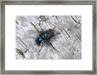 Bluebottle Fly Framed Print by Nigel Downer