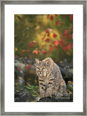 Bobcat Felis Rufus Framed Print by Ron Sanford