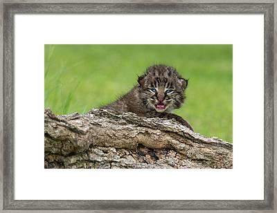 Bobcat Lynx Rufus Kitten Framed Print by Debbie Dicarlo