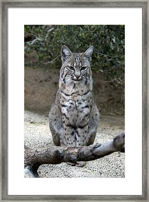 Bobcat Framed Print by Mark Newman