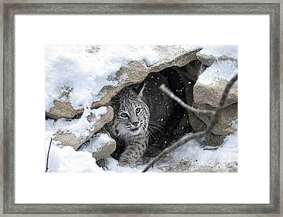 Bobcat Under Rocks In The Snow Framed Print by Dan Friend