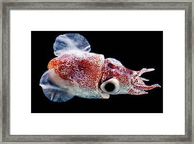 Bobtail Squid Heteroteuthis Dagamensis Framed Print
