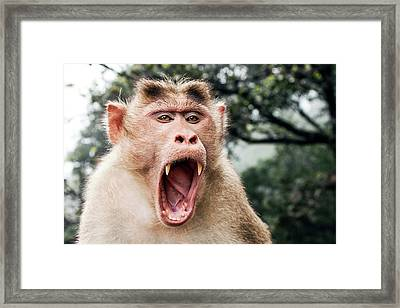 Bonnet Macaque Yawning Framed Print by Paul Williams