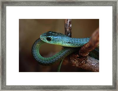 Boomslang Framed Print