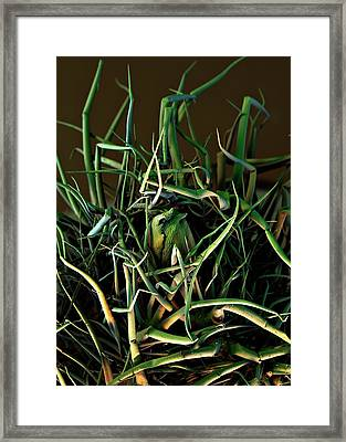 Borage Trichomes And Shoot Tip Framed Print by Stefan Diller