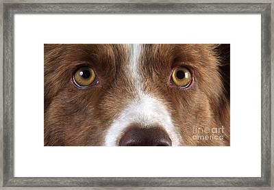 Border Collie Eyes Framed Print by Christine Steimer