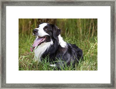 Border Collie In The Nature Framed Print