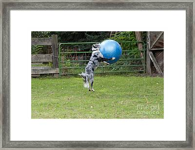 Border Collie Playing Catch Framed Print by William H. Mullins