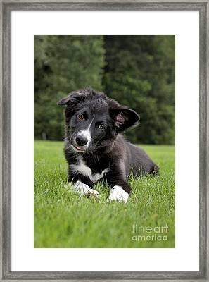 Border Collie Puppy Dog Framed Print by Johan De Meester