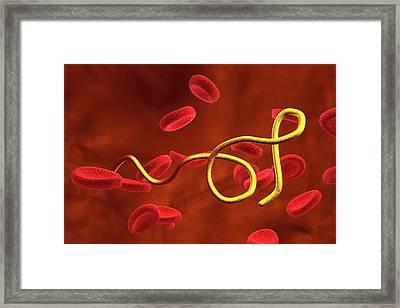 Borrelia Bacteria In Blood Framed Print