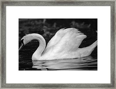 Boston Public Garden Swan Framed Print