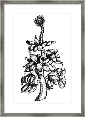 Botany Banana Tree, 1579 Framed Print by Granger