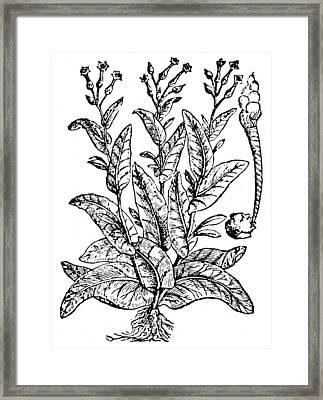 Botany Tobacco, 1576 Framed Print by Granger