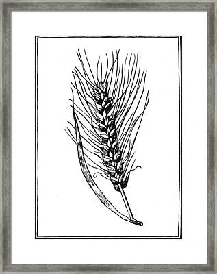 Botany Wheat, 1579 Framed Print by Granger