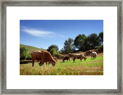 Bovine Cattle  Framed Print by Carlos Caetano
