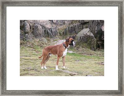 Boxer Dog Framed Print by Mark Severn